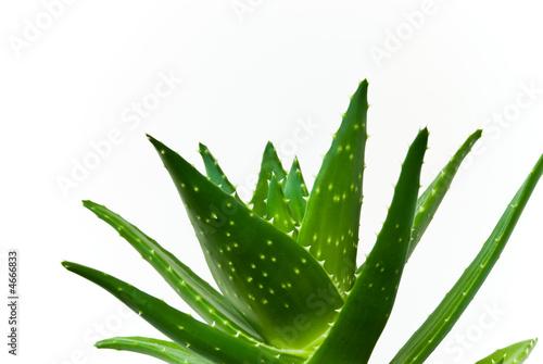 Fotobehang Cactus aloe vera-isoliert