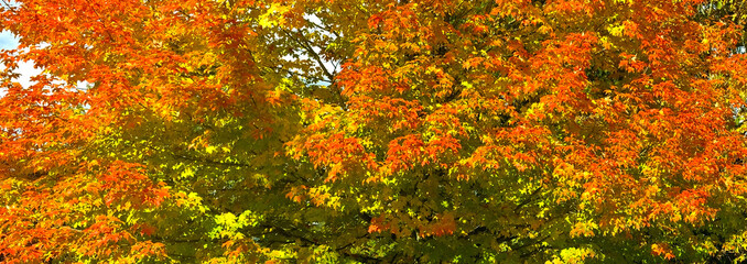 autumn colorful maple tree