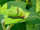 Caterpillar of Butterfly Purple 1 poster