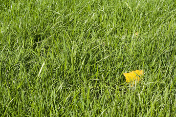 Green lawn with yellow leaf