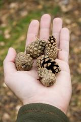 pine cones in hand