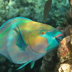 Coral reef fish Scarus 2