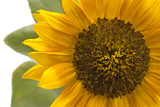 Close up view of sunflower head with defocused foliage behind poster