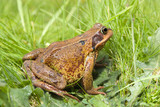 A common British frog (Ranidae Rana) nestled in long grass  poster