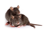 two rats poster