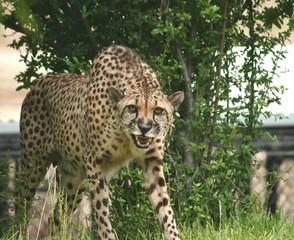 Chicken Cheetah