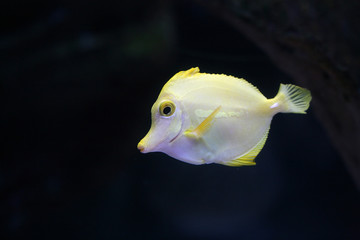 Yellow tropical doctorfish in an aquarium