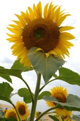 energy sunflower