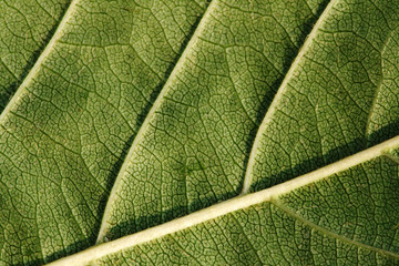 Texture, background of leaf
