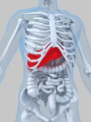menschliche anatomie mit hervorgehobener leber