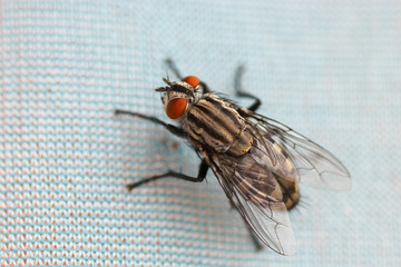 Macro picture of a fly