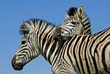 Plains Zebras (Equus quagga)  poster