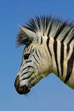 Plains Zebra (Equus quagga) portrait poster