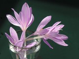 colchicum flowers in a glass