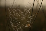 cobweb and dew