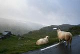 two sheeps in mountain in Norway