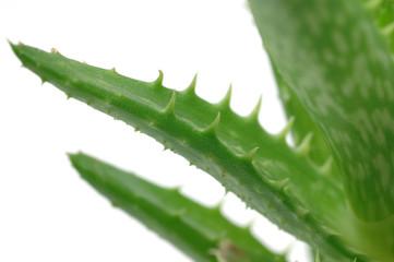 Close up of aloe vera leaves