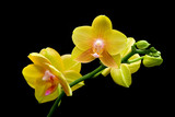 Stem of yellow orchids isolated on black background poster