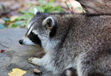 Common Raccoon (Procyon lotor) poster