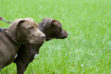 young staffordshire terrier