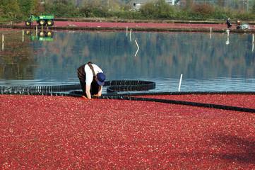farmer harvesting cranberries in cranberry bog