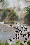 The great migration of wildebeest. poster
