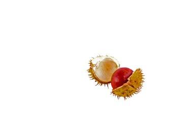 chestnut in shell