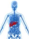 anatomie mit leber poster