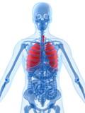 anatomie mit lungen poster