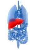 menschliche anatomie mit hervorgehobener leber poster