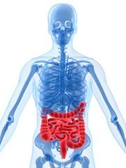anatomie mit darm