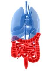 menschliche anatomie mit hervorgehobenem darm