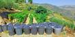 Portugal, Douro valley, Pinhao: Grape harvest