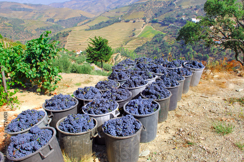 Portugal, Douro valley, Pinhao: Grape harvest