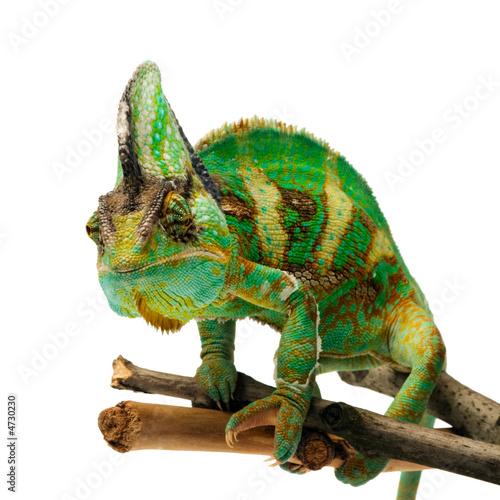 Papiers peints Cameleon chameleon