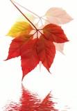 Autumn vine leaf in water ( XXXL size) poster
