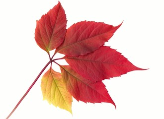 Autumn red vine leaf  (XXXL size)