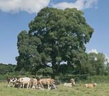 cattle in field poster