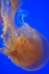 Brown Sea Nettle Jellyfish