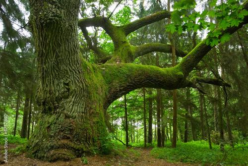 Zdjęcia na płótnie, fototapety na wymiar, obrazy na ścianę : Mighty oak.