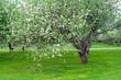 Постер, плакат: Apple Blossom