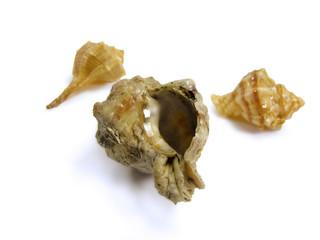 Conchas do tipo tritão