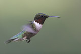 Adult Male Ruby-throated Hummingbird poster