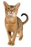 Cat of Abyssinian breed  poster