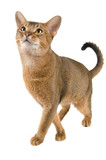 Cat of Abyssinian breed in studio poster