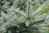 Colorado spruce poster