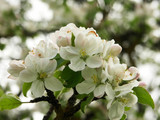 apple blossom - 4784066