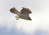 Northern Goshawk Diving on Prey poster