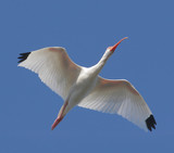 White Ibis Flying over the Florida Everglades poster