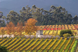 Vineyard landscape, Cape Town area, South Africa poster